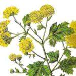 Chrysanthellum Americanum, aiuta il microcircolo e la salute del fegato
