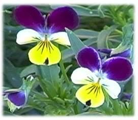 fiore di viola del pensiero