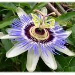 Passiflora: Per notti più serene