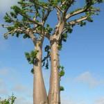 Il Baobab, l'albero della vita