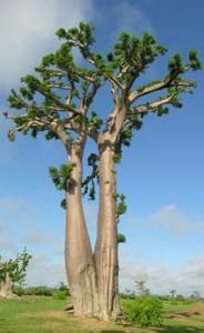 Albero di Baobab Africano