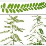 Phyllanthus Niruri – Filanto